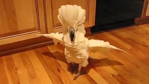 只因主人做饭太慢,小鹦鹉跑到厨房训斥主人,全程嚣张到不行