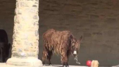 """世界第一""""奇""""驴,20年没修理过毛发,剃毛之后瞬间走红"""