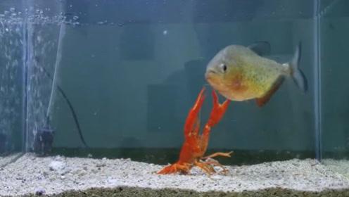 """老外把食人鱼饿""""14天"""",放进一只大龙虾后,场面顿时失控!"""
