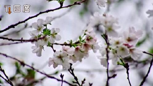 被天气搞晕的樱花! 武汉大学樱花反季节盛开