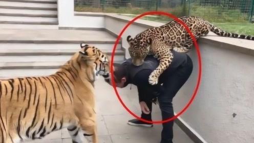 豹子背后偷袭饲养员,不料老虎上去就是一巴掌,老虎:吃了他谁来养我?