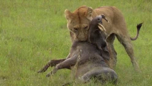 被狮子盯上的野猪,缩短距离之后迅猛出击,一个猛扑就能牢牢抓住