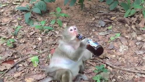 """猴子一把夺过游客的酒,独自一猴把酒喝个精光,醉后姿态太""""妖"""""""