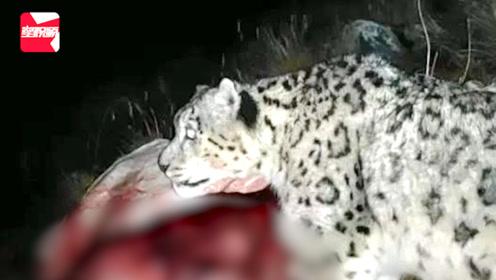 现场视频!雪豹夜闯青海牧民家捕食牦牛, 手机记录珍贵画面
