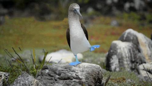 世界上最蠢萌的鸟 长着一双蓝脚丫 对人类没戒备心