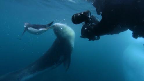 南极有爱的小海豹,担心摄影师饿死,连抓4天企鹅喂给他!
