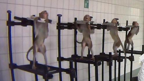 德国毒理实验室被曝虐待动物:每天注射13针、吃药后流血不止