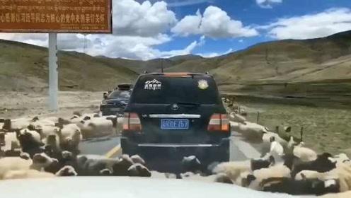 动也不能动!青海秋季转场进行时,羊群围着车子转圈圈
