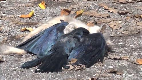 乌鸦趁猫咪不注意,一口咬在猫尾巴上!下一秒后悔都来不及了