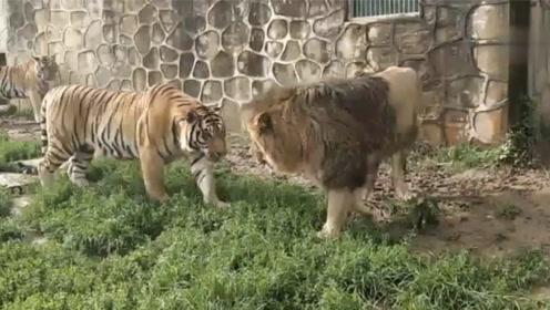 狮子闯进白虎窝,硬生生的将白虎打跑,随后的一幕令人目瞪口呆!