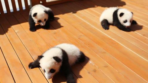 3只秦岭大熊猫萌宝公开招募认养100万可终身冠名认养一只