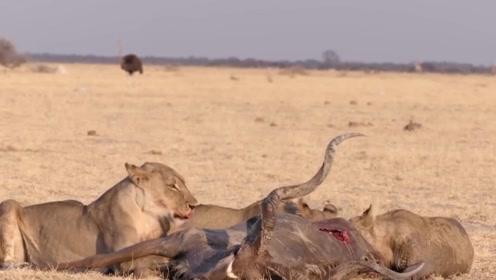 自信高傲的捻角羚羊,脱离种群独自寻找水源,刚找到悲剧就发生了