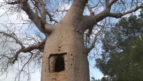 堪称天然的面包厂,一棵猴面包树可以养活2个人,既能吃又能喝