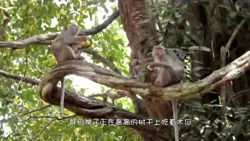 一群猴子在树上吃木瓜,母猴无意间的一个动作,小猴子就悲剧了