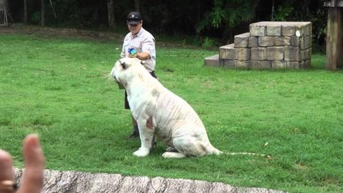 白虎也有萌态可掬的一面,饲养员拿捏的十分到位,太可爱了
