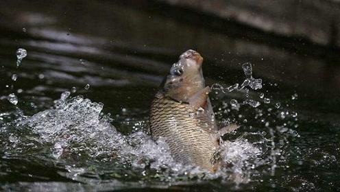黄河含有大量泥沙,为何还能生存大量鲤鱼?今天总算知道了
