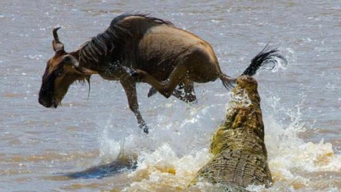 鳄鱼正张开大嘴准备活吞角马,没想到出现奇妙一幕,鳄鱼傻眼了