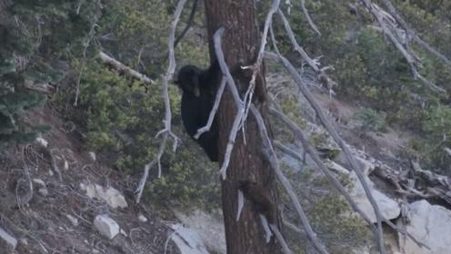 熊妈妈上树觅食,两只熊孩子让妈妈操碎了心