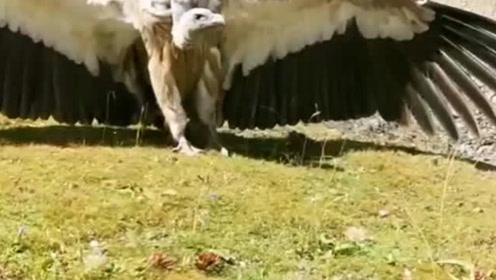 青藏高原的雄鹰,展开翅膀有两米多,镜头记录下帅气全过程
