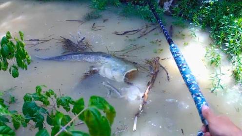钓鱼:大鲶鱼来到了浅水区