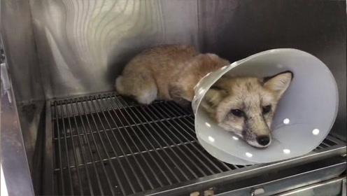 又见赤狐!北京宠物搜救队志愿者今年已抓5只:与盲目饲养有关