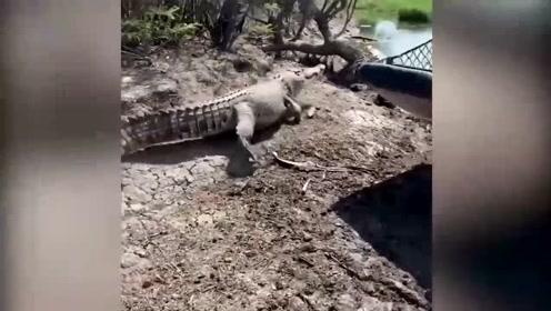 雌鳄鱼遭雌雄鳄鱼攻击 人类出手相救助其成功逃脱