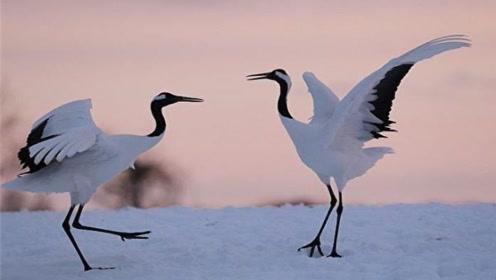 这种鸟是长寿的象征,寿命可达60年,描述它的诗句数不胜数
