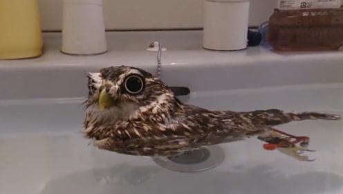 主人的洗手池被猫头鹰霸占,无奈只能放水,猫头鹰:看我瞪死你!