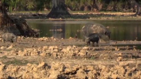 凶猛的鳄鱼伺机行动,将野猪强行拖入水中,无力反抗