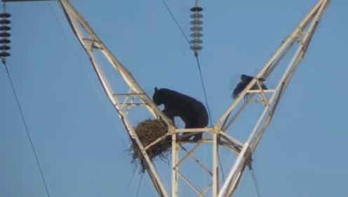 黑熊发现电线杆上的鸟窝,大胆爬上去偷鸟蛋,谁知被鸟妈目睹全程