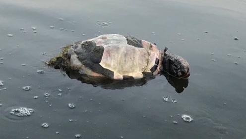 河里漂浮超大的龟壳,老外好奇翻过来,眼前一幕让他不淡定!