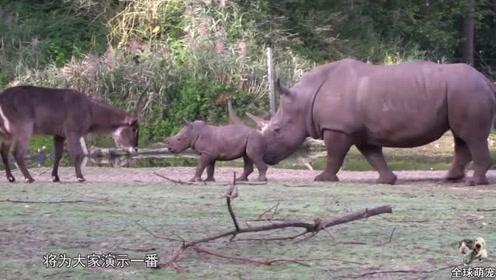 犀牛宝宝在草原上横行霸道!网友:要不是看在你爸妈份上,早挨揍了