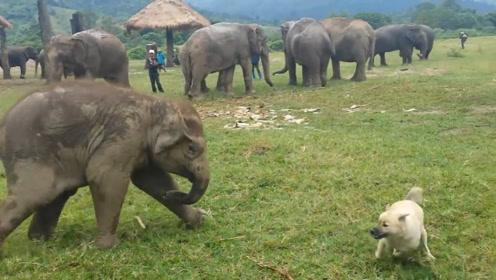 一只狗狗误闯象群,大象对此发动攻势,镜头记录激烈全过程