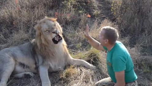 雄狮心情不好不肯梳毛,饲养员上来就一巴掌,狮子敢怒不敢言