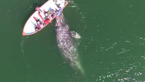鲸鱼的难言之隐,细看鲸鱼的身体后,眼前的画面让人心疼