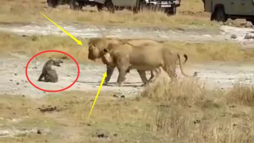 狮子咬断鬣狗后腿,鬣狗用两条腿逃跑,场面太残酷了