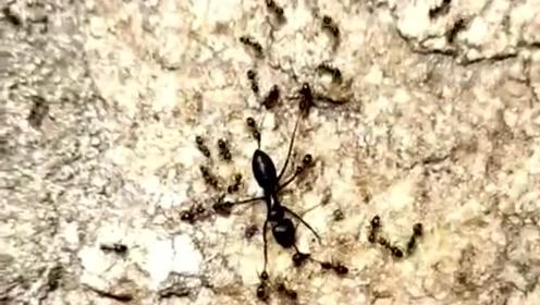 千万别惹一个团结的民族,蚂蚁就是个例子,这玩意太和谐了!