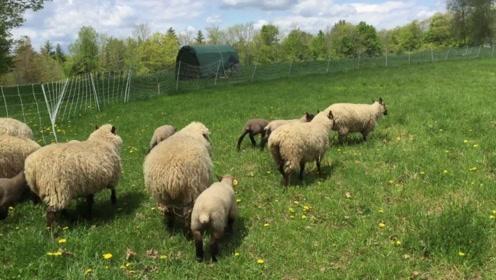 喜欢爬树的山羊,成为当地极为出名的景观,背后原因太辛酸