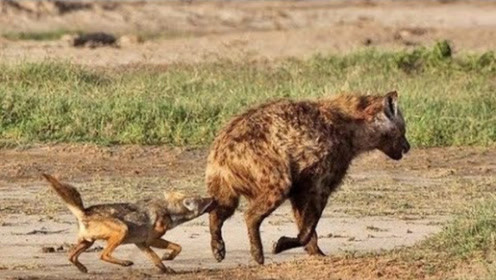 狡猾的胡狼学会掏肛,首先倒霉的竟是鬣狗, 网友大呼:遭报应了