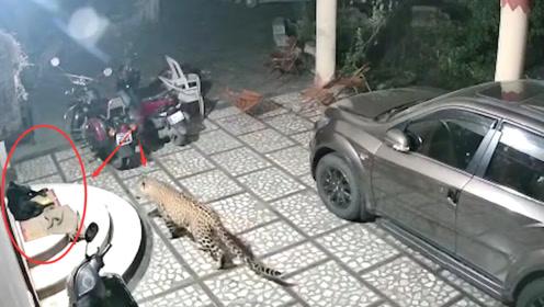 狗狗在门口熟睡,却不知豹子半夜来袭,结果悲剧了