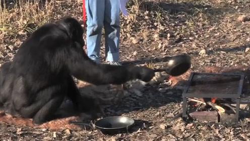 超聪明的黑猩猩,已经生火做饭21年,完全把自己当成人类