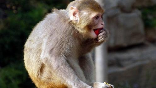 猴子第一次见到火,太好奇直接上手摸,下一幕憋住别笑!