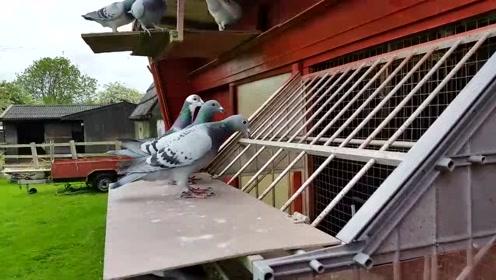 飞鸽回巢,相信它们不会迷路的
