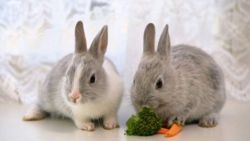 为什么有人说兔子一喝水,就会立刻断肠而亡?看完你就知道了