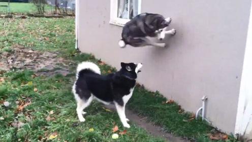 一只学会武术的哈士奇,大秀飞檐走壁,一旁的狗子都看懵了