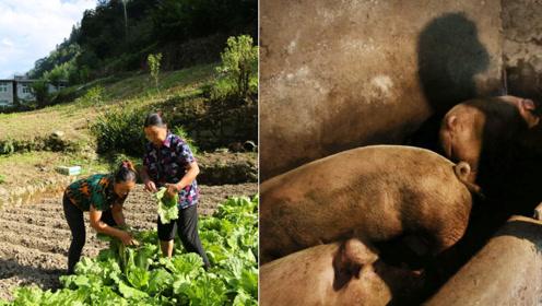 48岁儿媳照料多病婆婆6年,三头猪养大了,等丈夫儿子回家杀年猪