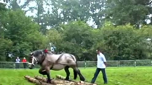 比利时挽马,马中大力士,干农活一级棒