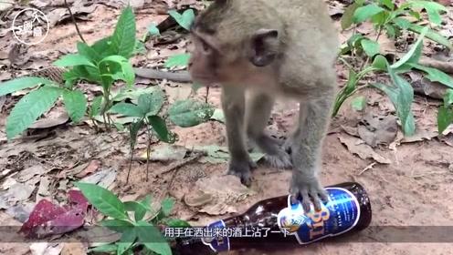 猴子自称酒量好,游客给了三罐后,下一秒发生了意外