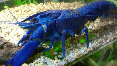 """日本男子辐射区钓到""""蓝色龙虾"""",专家都抢着买,这能吃吗?"""