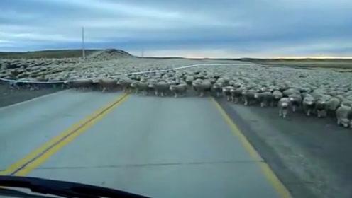 上万只绵羊过马路,不料一辆小货车直线冲过来,镜头记录全过程